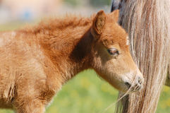 Portrait de poulain gentil de poney de montagne de gallois Image libre de droits