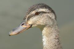 Portrait de poule de canard de Mallard Images stock
