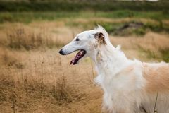 Portrait de profil de beau chien russe de barzoï dans le domaine d'herbe défraîchi photos stock