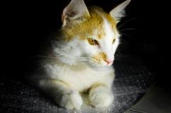 Portrait de profil de chat tigré image libre de droits
