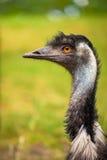 Portrait de profil d'émeu australien Photo libre de droits