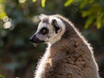 Portrait de profil de lémur Images libres de droits