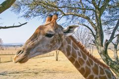 Portrait de profil de girafe photo stock