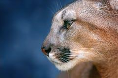 Portrait de puma sur le bleu photos libres de droits