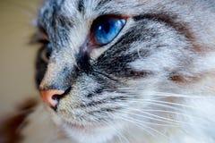 PORTRAIT DE PURE RACE DE TÊTE LATÉRALE DE CAT DE RAGDOLL Photographie stock