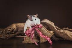 Portrait de rat domestique Photo libre de droits