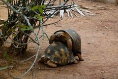 Portrait de reproduction de tirtle sous l'arbre, Arivonimamo, Antananarivo, Madagascar photo stock