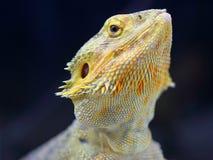Portrait de reptile photo libre de droits