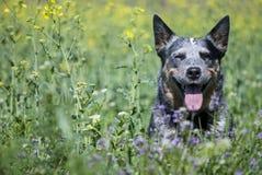 Portrait de ressort de chien australien heureux de bétail sur l'herbe verte Photographie stock libre de droits