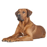 Portrait de Rhodesian Ridgeback Photo stock