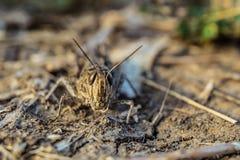 Portrait de sauterelle brune dans le sauvage Plan rapproché d'italicus de Calliptamus Insecte de parasite Photographie stock libre de droits