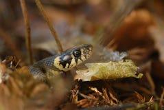 Portrait de serpent d'herbe Images libres de droits