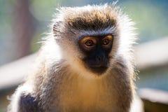 Portrait de singe Photos libres de droits