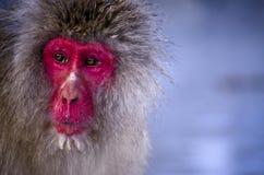 Portrait de singe Image libre de droits