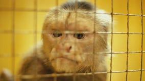 Portrait de singe de capucin clips vidéos