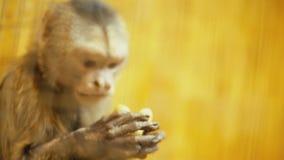 Portrait de singe de capucin banque de vidéos
