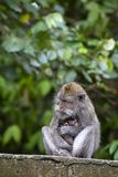 Portrait de singe et de mère de bébé à la forêt sacrée de singe dans Ubud, Bali, Indonésie Fin vers le haut Photo libre de droits