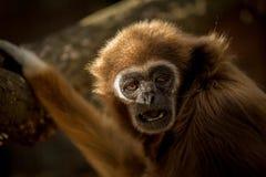 Portrait de singe de Gibbon Le lar de Hylobates de gibbon de lar image stock