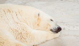 Portrait de sommeil d'ours blanc au zoo photographie stock