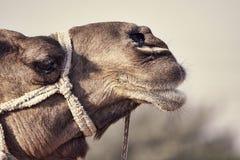 Portrait de tête de chameau dans Pushkar Images libres de droits