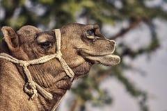 Portrait de tête de chameau dans Pushkar Photos libres de droits
