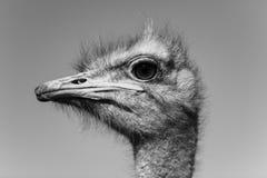 Portrait de tête d'oiseau d'autruche Photo libre de droits