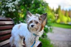 Portrait de Terrier Images libres de droits