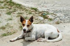 Portrait de terrier de Jack Russel Image stock