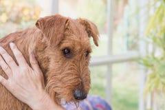 Portrait de Terrier irlandais toiletté Photos stock