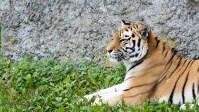 Portrait de tigre avec la roche à l'arrière-plan image libre de droits