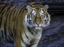 Portrait de tigre dans le zoo photos stock
