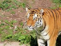 Portrait de tigre sibérien Images stock