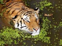 Portrait de tigre sibérien (altaica du Tigre de Panthera) Photographie stock libre de droits