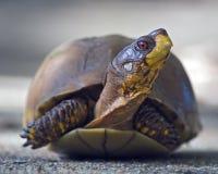 Portrait de tortue de boîte Image stock