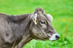 Portrait de vache Photographie stock libre de droits