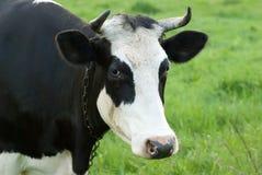 Portrait de vache noire et blanche sur un pâturage Images stock