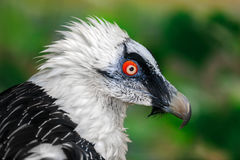 Portrait de vautour de barbe image stock