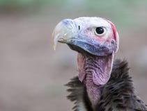Portrait de vautour de visage de plumetis Image libre de droits