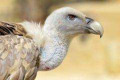 Portrait de vautour de griffon Images stock