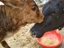 Portrait de veau nouveau-né avec la vache à mère Images stock
