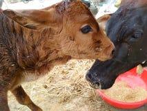 Portrait de veau nouveau-né avec la vache à mère Photographie stock