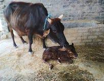 Portrait de veau nouveau-né avec la vache à mère Image libre de droits