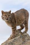 Portrait de verticale de chat sauvage Image stock