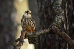 Portrait de vespertinus Rouge-aux pieds femelle de Falco de faucon photos libres de droits
