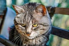 Portrait de vieux chat gris rayé Photo libre de droits