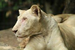 Portrait de vieux lion femelle Image libre de droits