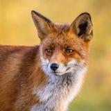 Portrait de visage de Fox rouge Photo stock