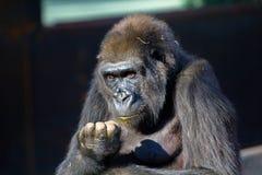 Portrait de visage de gorille images stock
