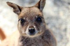 Portrait de wallaby de roche photographie stock libre de droits