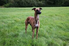 Portrait de whippet Photo stock